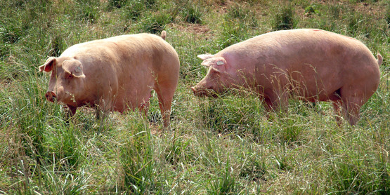Raising Pigs on Pasture