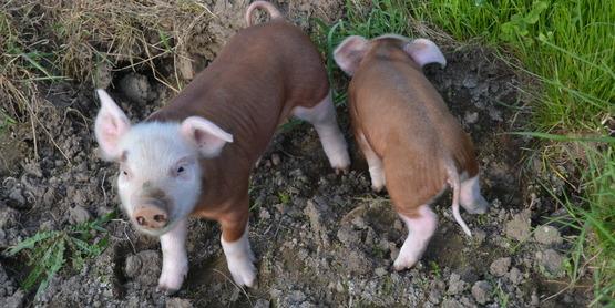 Raising Pigs on Pasture