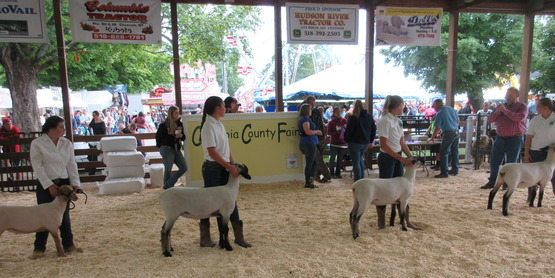 4-H members showing sheep at the Columbia County Fair
