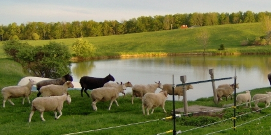 Commercial Sheep Production in the Northeast