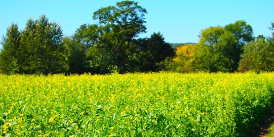 Mustard cover crop, New Paltz, 2015