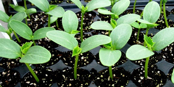 seedlings in a flat