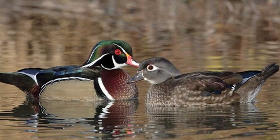 The Quack Attack!