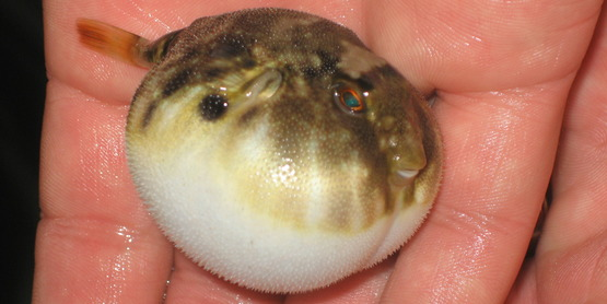 Pufferfish!
