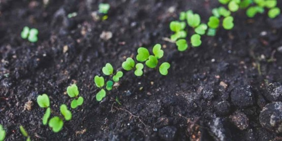 agrugula sprouts in soil