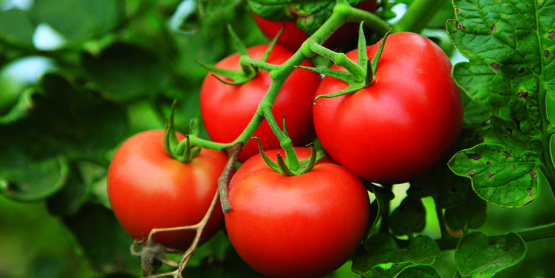 Be successful at Vegetable Gardening and Growing Tomatoes!