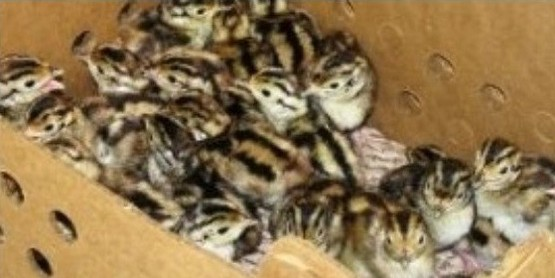 Deadline for the 4-H Day Old Pheasant Chicks Program
