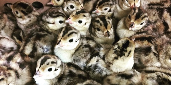 Day-Old Pheasant Rearing Project Deadline