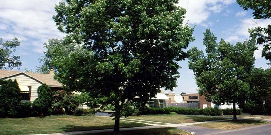 common hackberry (Celtis occidentalis) L. used as a street tree in a 6-8 foot tree lawn