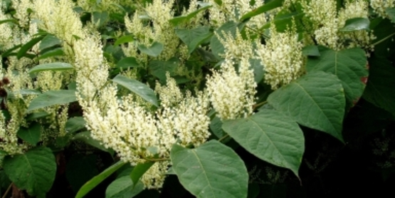 Japanese Knotweed flower and leaves