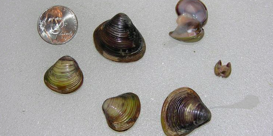 Asian clam (Corbicula fluminea)