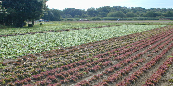 Local lettuce waiting to be harvested.