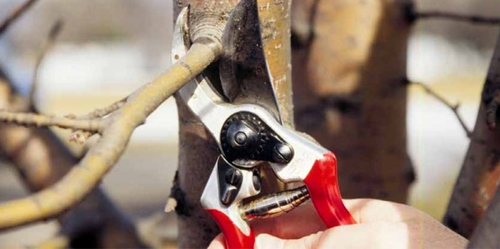 making a pruning cut with hand pruners