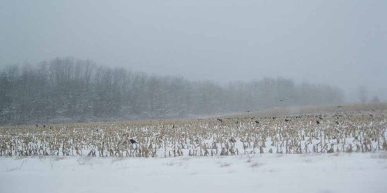 Crows over a snowy cornfield in Ulysses, NY
