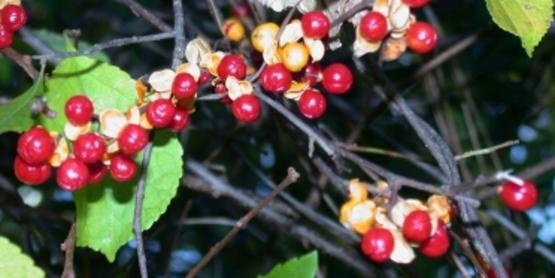 Oriental Bittersweet fruit