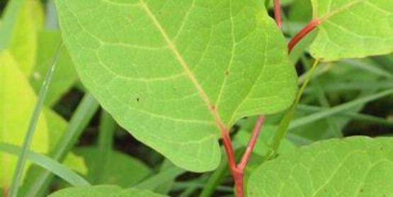 Japanese Knotweed foliage