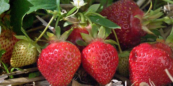 Growing Day Neutral Strawberries