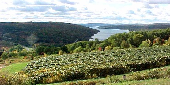 Vineyard in Yates County