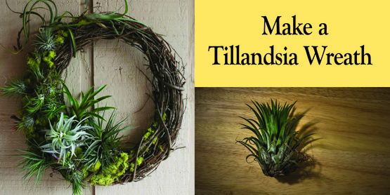 Craft a living wreath using tillandsias (air plants), mosses, and more to take home.