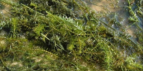 Hydrilla, Hydrilla verticillata
