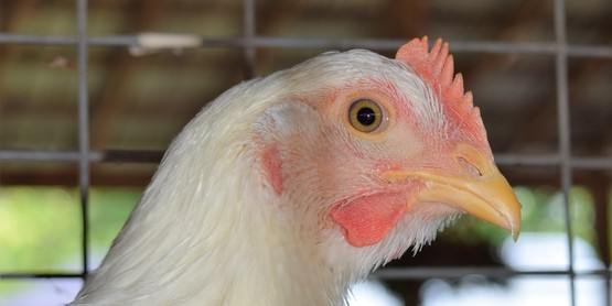 Poultry 101