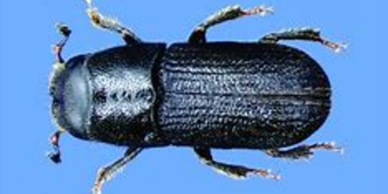 Southern Pine Beetle has found in Albany County