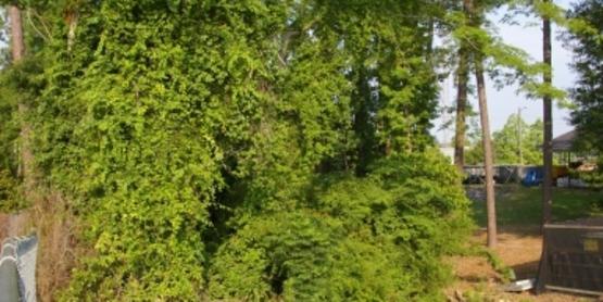 Oriental Bittersweet bush