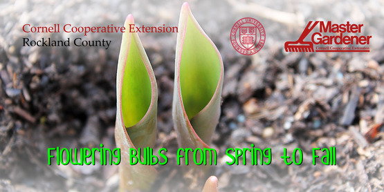 Flowering Bulbs from Spring to Fall