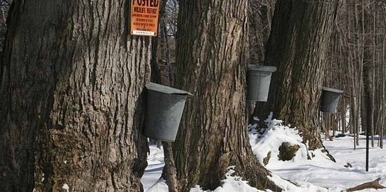 Maple trees with taps and buckets for collecting sap, to be made into maple syrup, at Beaver Meadow Audubon Center, North Java, NY.