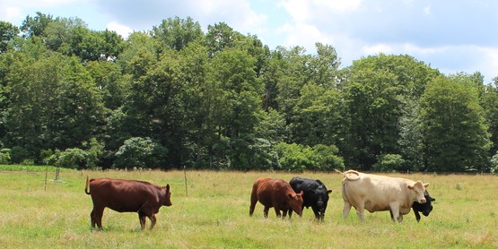 Debra beef cows