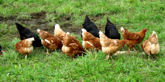 Pastured poultry at Quinn's Irish Hill Farm, Freeville NY.