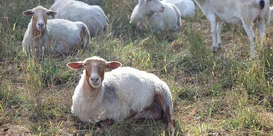 Glynwood goats