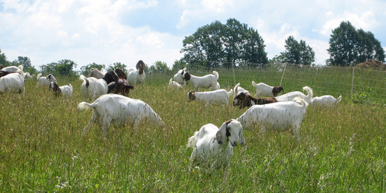 Meat goats at BWW Farm in Trumansburg