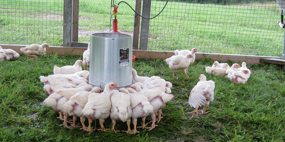 Poultry at Quinn's Irish Hill Farm in Freeville