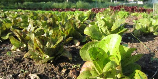 Safe Harvest of Leafy Greens: Avoiding Food-borne Illness