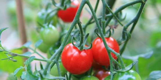Growing Cherry Tomatoes and Lettuce