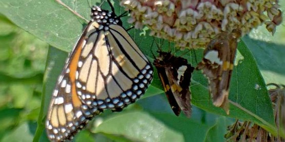Monarchs in Peril and What You Can Do To Help