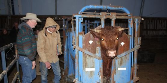 Cattle Handling Systems: Importance for BQA