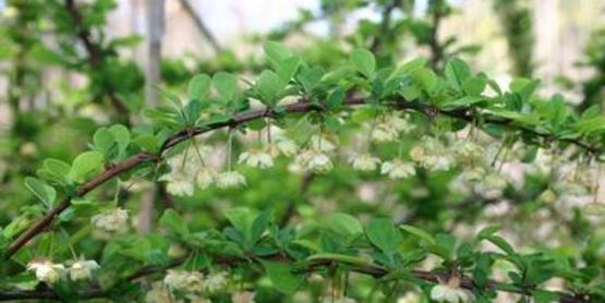 Japanese Barberry branch and flower