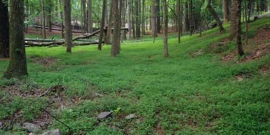 Japanese Stiltgrass infestation