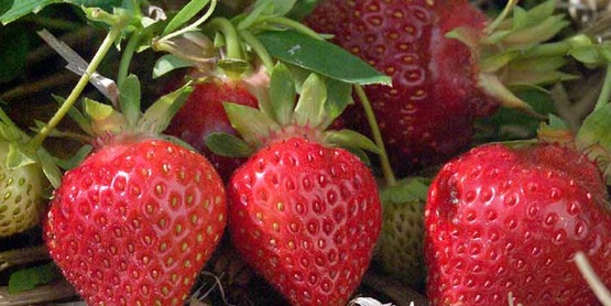 Strawberry breeding project, 'Winona' (TM) variety ( 'MN US 694') released in 1997 by the University of Minnesota and USDA.