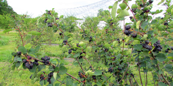 Juneberry Bush from Juneberry Farm in Willard, NY