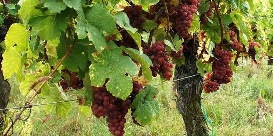 Gewurztraminer (grape)