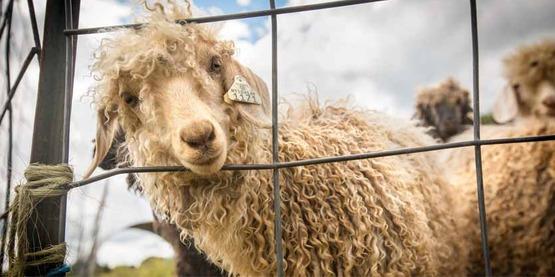 Sheep on a farm in Ovid, NY