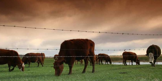 beef cattle grazing behind a fence