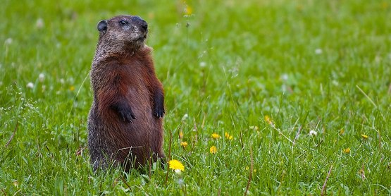 ground hog standing in field