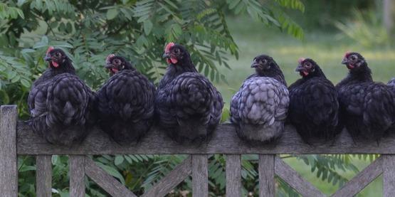 Advanced Poultry Farming