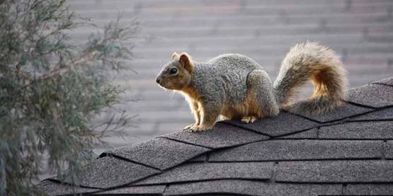 fox squirrel (Sciurus niger) Linnaeus, 1758