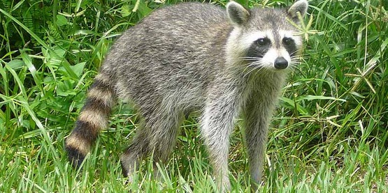 Common raccoon / Procyon lotor