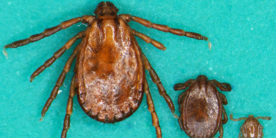 Longhorned Tick A.K.A. Cattle Tick or Bush Tick
